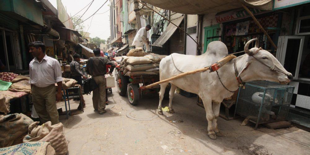 Kurz, krowy i Massala
